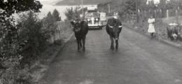 Køerne på vejen